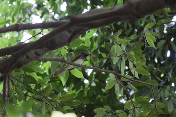 サンコウチョウの画像 p1_15